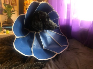 Zoe Yoga Poodle in Recovery
