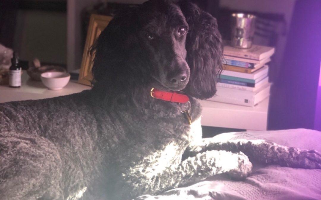 Zoe Yoga Studio's Dog, Kuro and His Road to Recovery